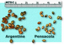 Argentine and Pensacola bahiagrass seed size